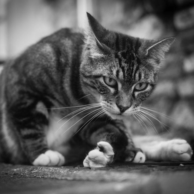 Un chat croisé dans la rue. Sony A6400 Sony 35mm F1.8. Le Havre 06/04/2020.